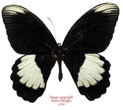Papilio ambrax (Arfak) A-
