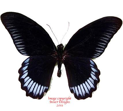 Papilio deiphobus deiphontes (Buru) A2
