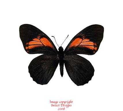 Papilio euterpinus (Peru)