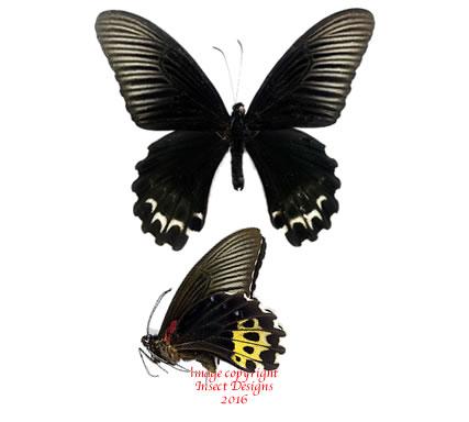 Papilio forbesi (Sumatra) A-