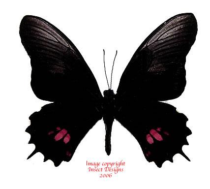 Papilio isodorus (Peru)