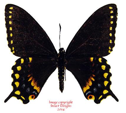Papilio polyxenes (Costa Rica) - black A2