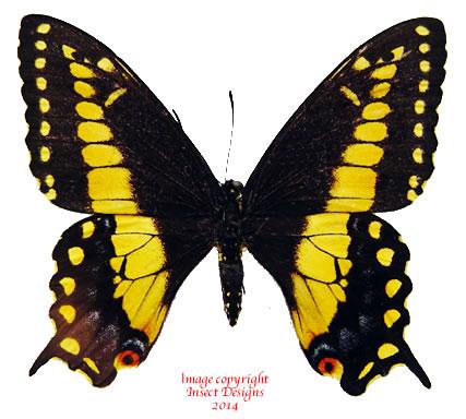 Papilio polyxenes (Costa Rica) - yellow A2