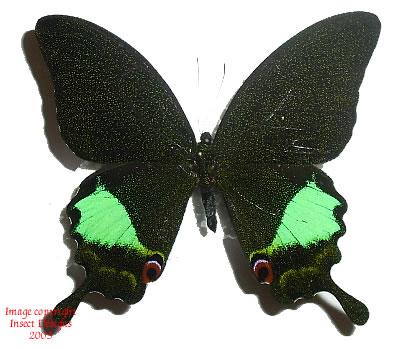 Achillides karna karna (Java) A-