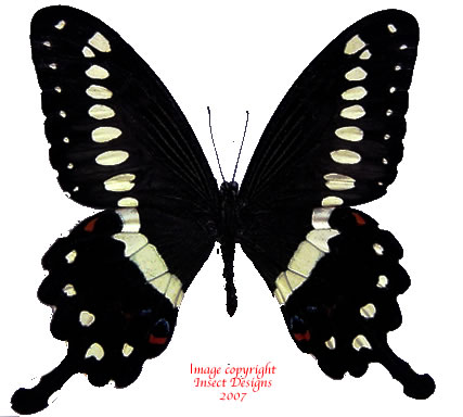 Papilio lormieri (RCA)