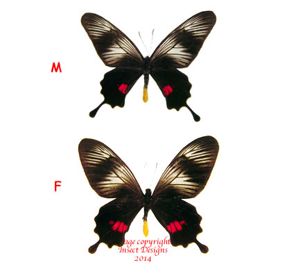 Papilio (Balignina) neptunus  (Philippines) A-