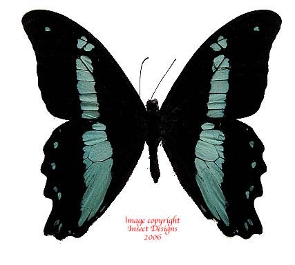 Papilio nireus (RCA) A2