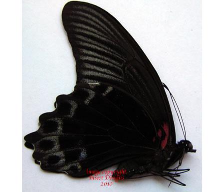 Papilio memnon x oenomaus (Indonesia)