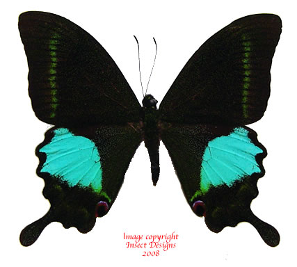 Papilio paris (Java)