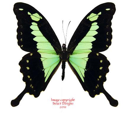 Papilio phorcas (Tanzania)
