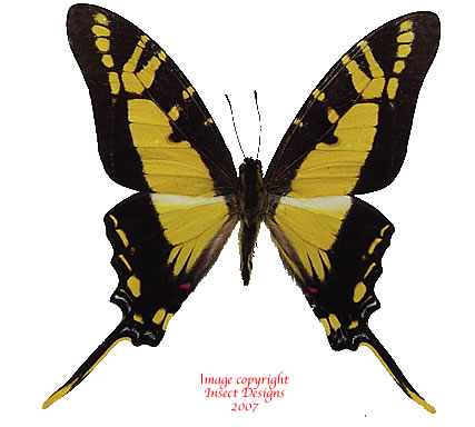 Eurytides thyastes (Peru) A2
