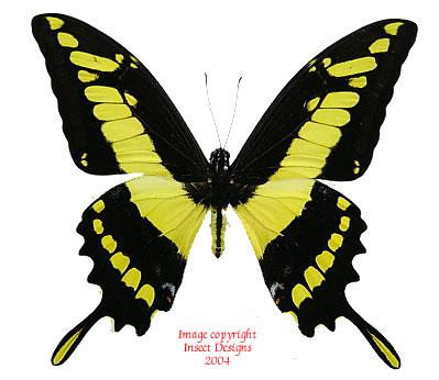 Papilio thoas (Peru)