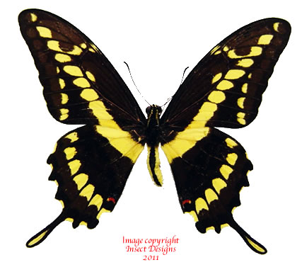 Papilio thoas neacles (Colombia)