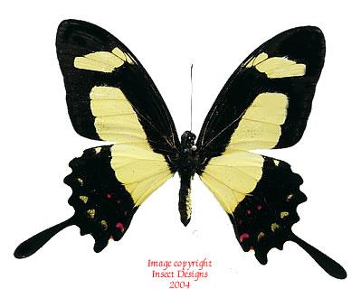 Papilio torquatus (Peru)