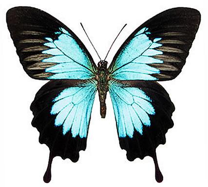 Papilio ulysses orsippus (Choiseul, Solomons) A1 to A2