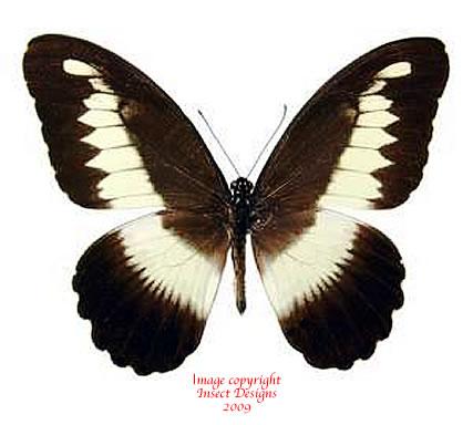Papilio zenobia (RCA)