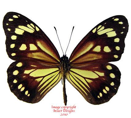 Parantica dannatti dannatti (Philippines)