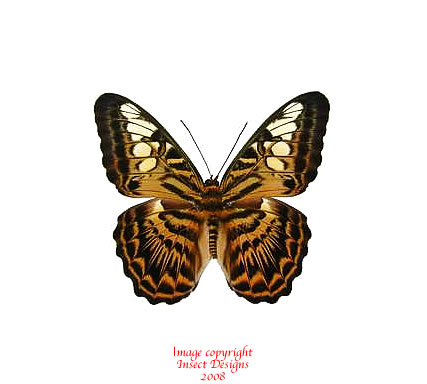 Parthenos sylvia brunnea (Indonesia) A2