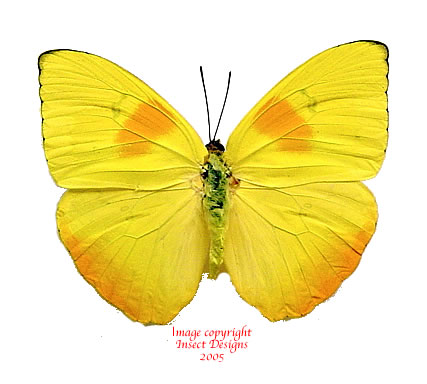 Phoebis philea (Peru) - females only left