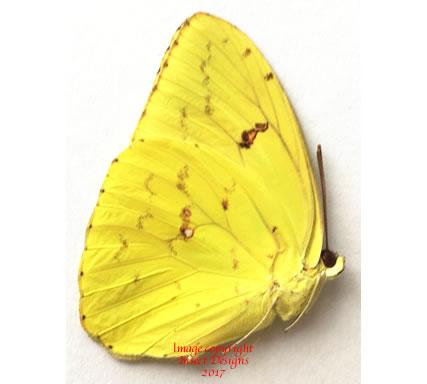 Phoebis sennae (Colombia)