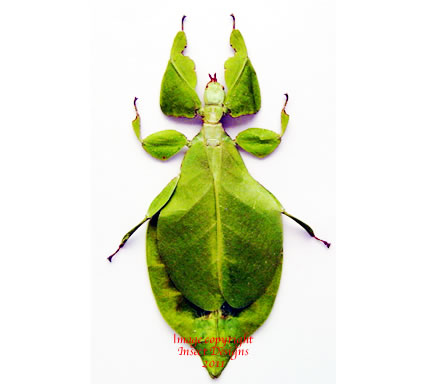 Phyllium bioculatum (Malaysia)