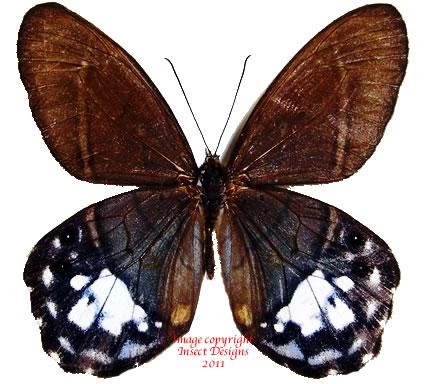 Pierella amalia (Peru) A1-