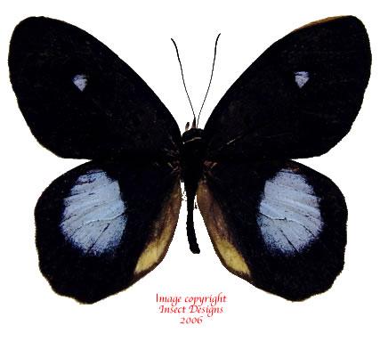 Pierella hortona (Peru) A-