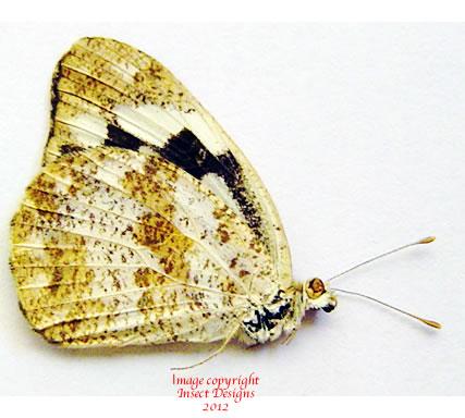 Pieridae sp. 1 (Madagascar) A-