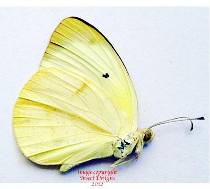 Pieridae sp. 2 (Madagascar) A-