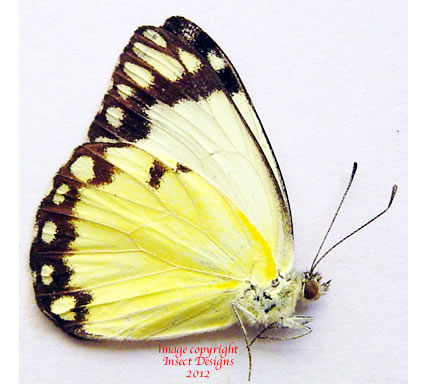 Pieridae sp. 3 (Madagascar)