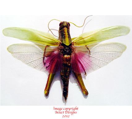 Pink grasshopper (Thailand) A- or A2