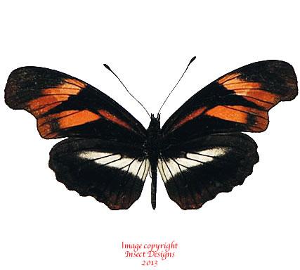Podotricha telesiphe (Peru)