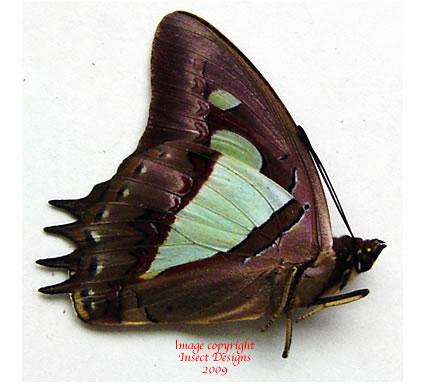 Polyura athamas athamas (Malaysia)
