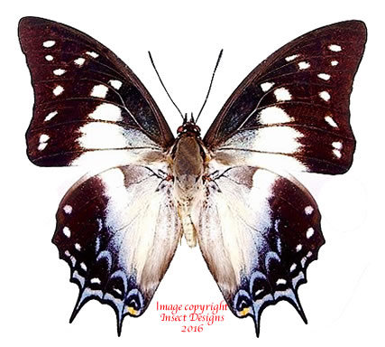 Polyura pyrrhus pyrrhus (Ceram)