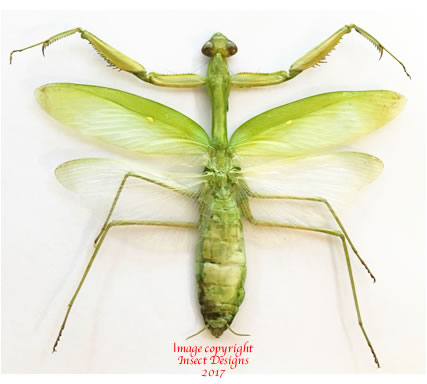 Praying mantid (Thailand)