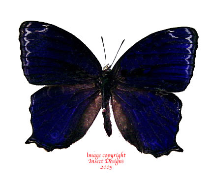Ptychandra lorquini (Philippines) A-