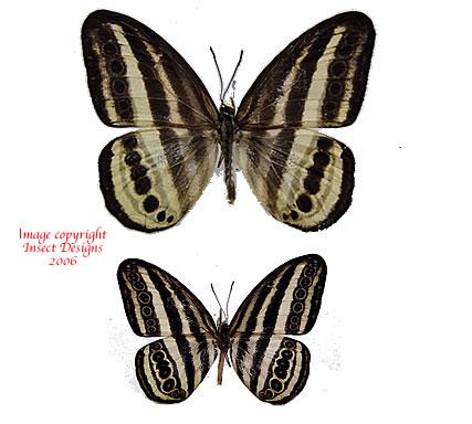 Ragadia luzonia luzonia (Philippines) A-
