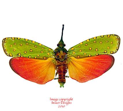 Saiva cardinalis (Thailand)