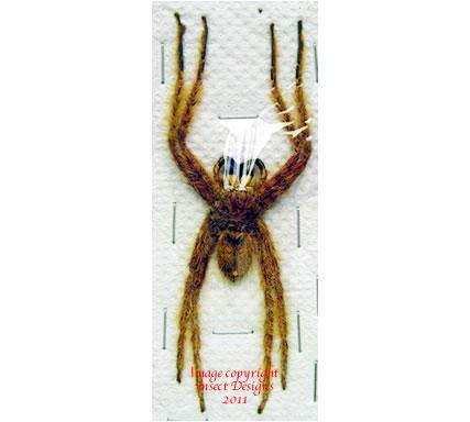 Heteropoda davidbowie (Malaysia)