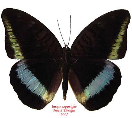 Tanaecia calliphorus calliphorus (Philippines) A-