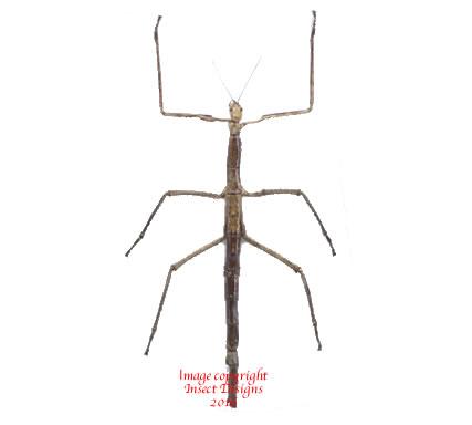Tirachoidea westwoodi (Thailand)