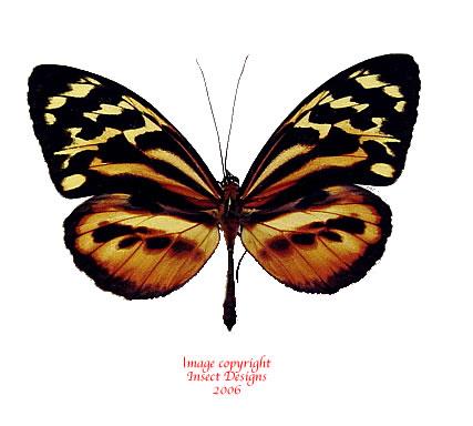 Tithorea harmonia (Peru)