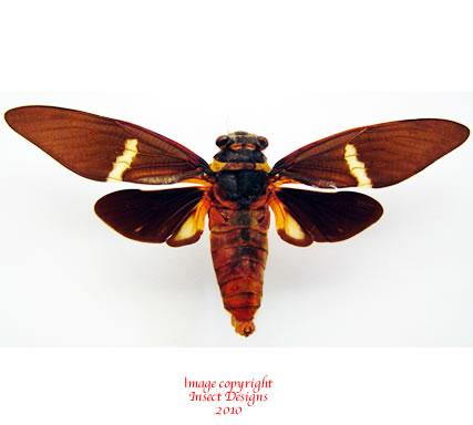 Tosena melanoptera (Malaysia)