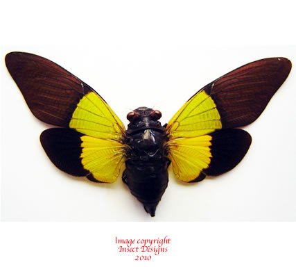 Trengganua sybylla (Malaysia) A-