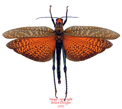 Tropidacris dux (Peru)