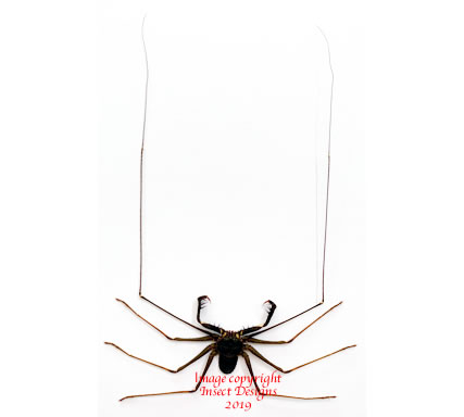 Whip spider (Java) A2