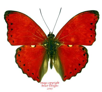 Cymothoe distincta trollia (RCA) A2