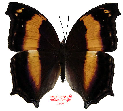 Yoma sabina podium (Philippines) - female