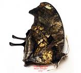 Anaea fabius (Colombia)