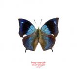 Anaea morvus morpheus (Peru) A2